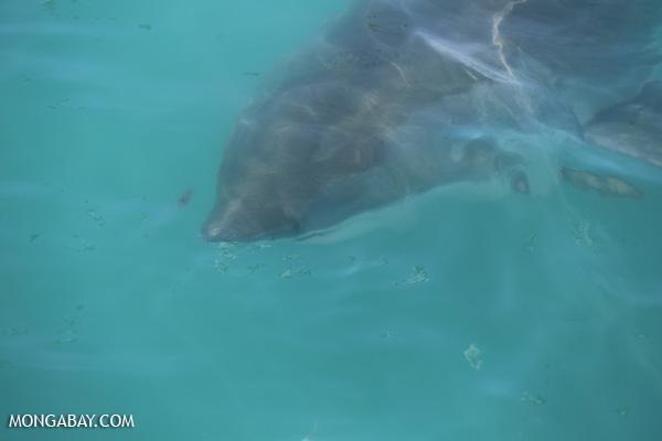 Great white shark [south_africa_hermanus_1245]