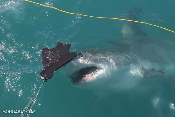 Great white shark [south_africa_hermanus_1251]