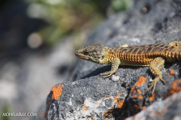 Lizard [south_africa_hermanus_1375]