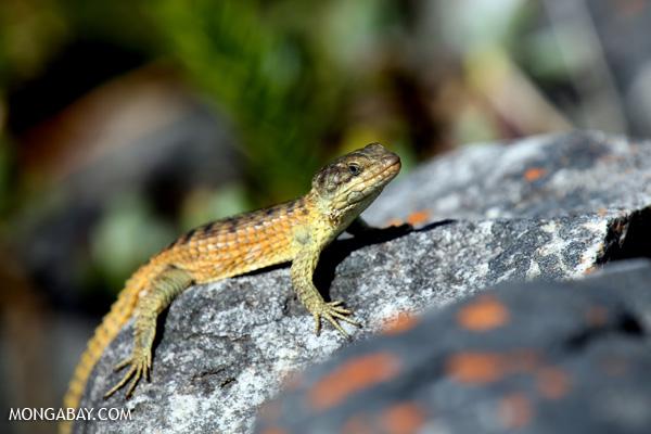 Lizard [south_africa_hermanus_1381]