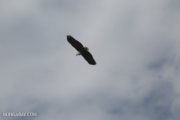 African fish eagle [south_africa_kruger_0017]