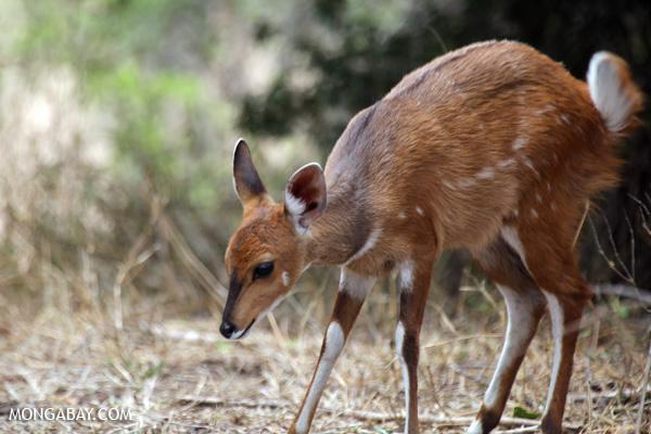 Antelope [south_africa_kruger_0033]