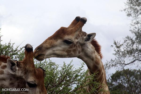 Giraffa camelopardalis giraffa [south_africa_kruger_0134]