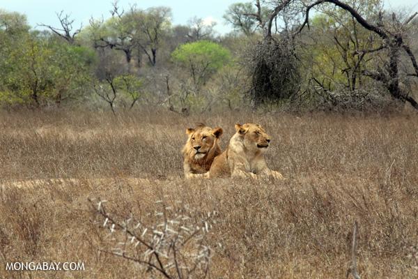 Lion [south_africa_kruger_0218]