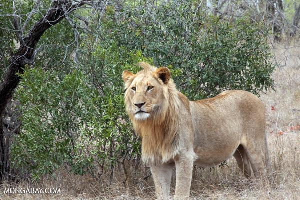 Lion (Panthera leo) [south_africa_kruger_0235]