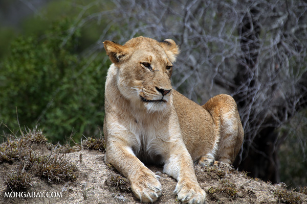 A lion in Kruger National Park in South Africa. Lion populations have plummeted in recent years and the West African lion is on the verge of extinction. Photo by: Rhett A. Butler.