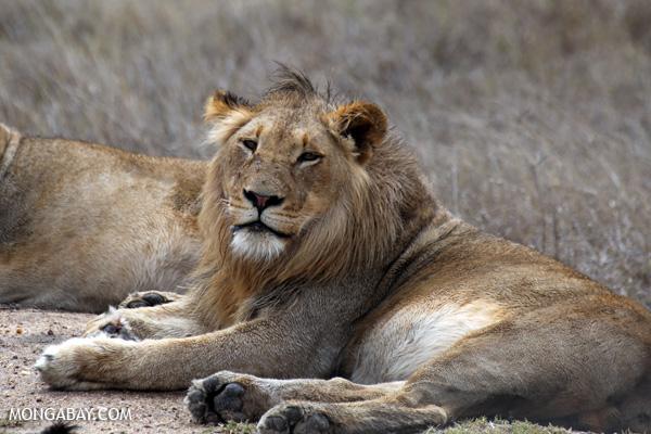 African lion [south_africa_kruger_0297]