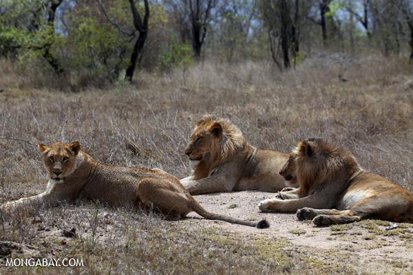 African lion [south_africa_kruger_0305]