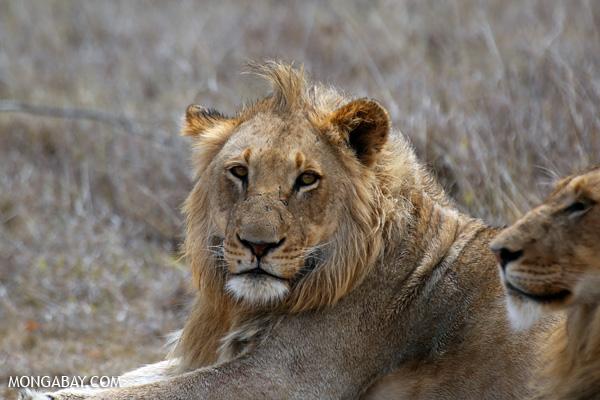 African lion [south_africa_kruger_0313]