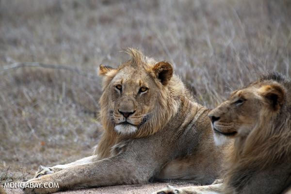 African lion [south_africa_kruger_0316]