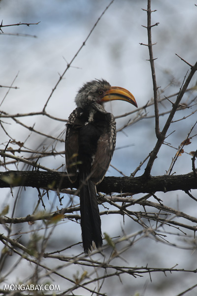 Southern Yellow-billed Hornbill [south_africa_kruger_0343]