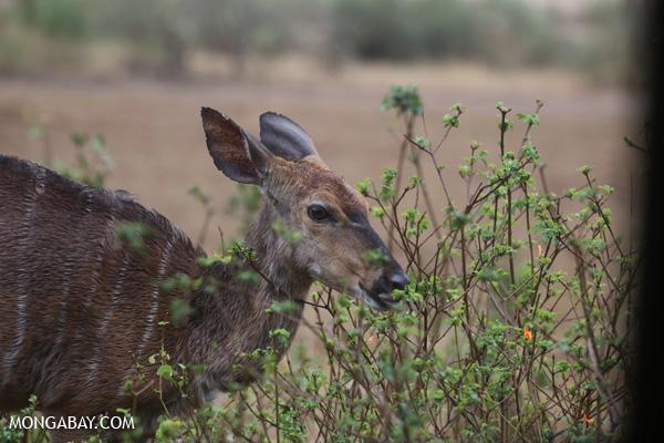 Female Nyala (Tragelaphus angasii) [south_africa_kruger_0361]