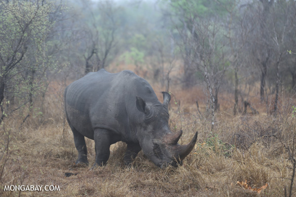 White rhino in Kruger National Park, South Africa