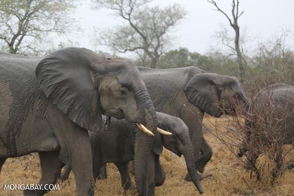Elephant [south_africa_kruger_0520]