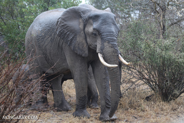 African elephant in South Africa. Photo by: Rhett A. Butler.