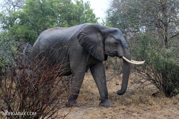 Elephant [south_africa_kruger_0532]