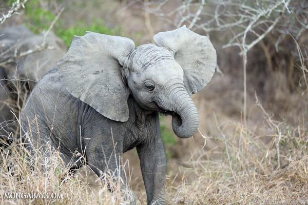 African elephant [south_africa_kruger_0638]
