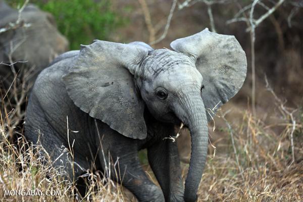 African elephant [south_africa_kruger_0647]