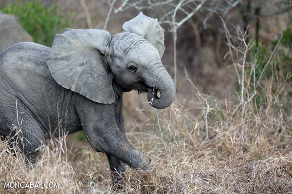 African elephant [south_africa_kruger_0649]