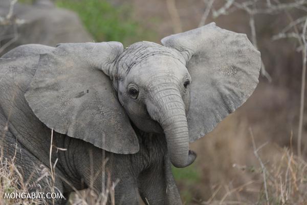 African elephant [south_africa_kruger_0657]