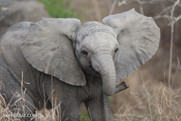 African elephant [south_africa_kruger_0660]