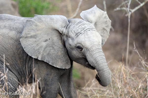 African elephant [south_africa_kruger_0663]