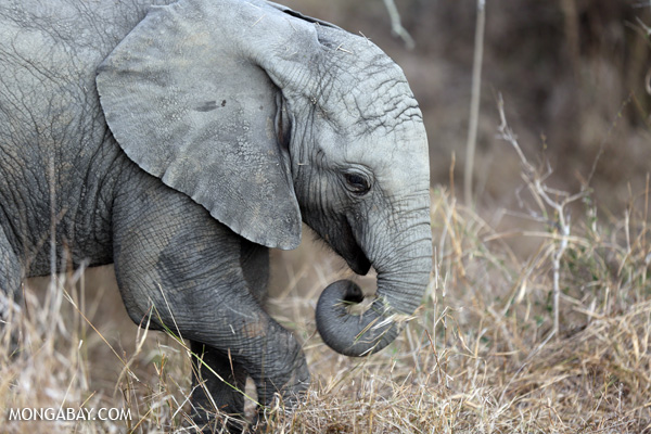 Young elephant in South Africa. Photo by: Rhett A. Butler.