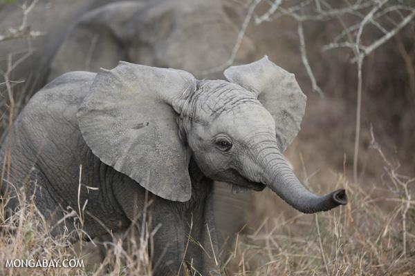African elephant [south_africa_kruger_0681]