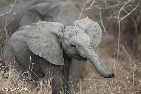 African elephant. Photo by: Rhett Butler.