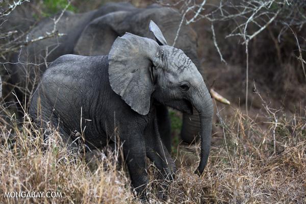 African elephant [south_africa_kruger_0692]