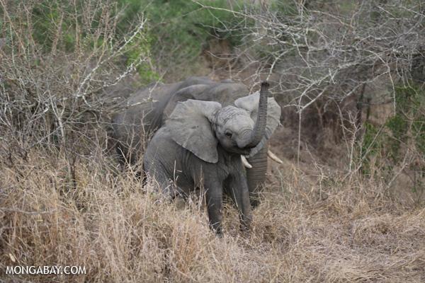 African elephant [south_africa_kruger_0694]