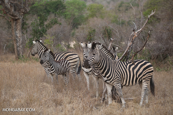 Common zebra (Equus quagga) [south_africa_kruger_0719]