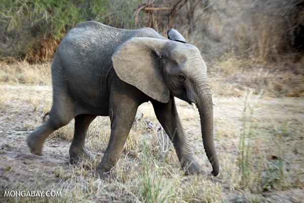 Elephant [south_africa_kruger_0757]