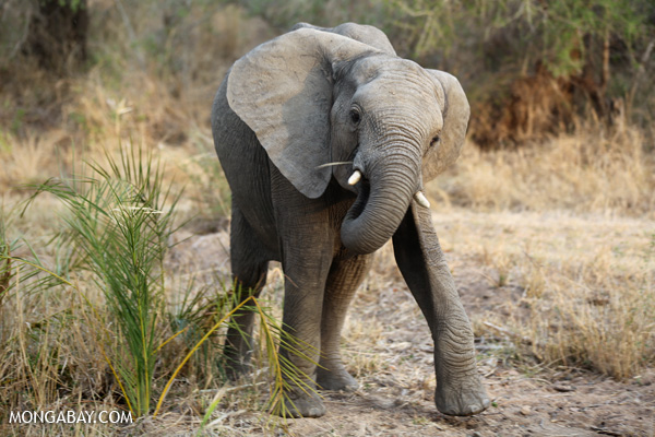 Elephant in South Africa. Photo by Rhett A. Butler.
