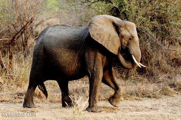 Elephant [south_africa_kruger_0763]