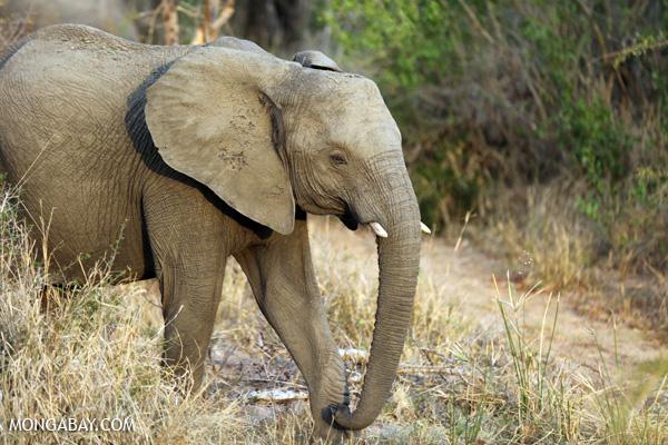Elephant [south_africa_kruger_0768]