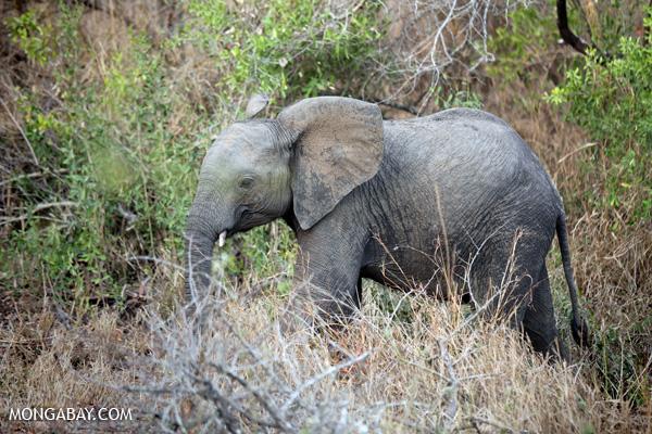 Elephant [south_africa_kruger_0771]