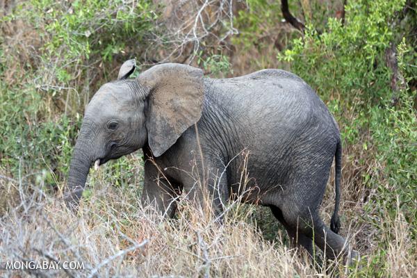 Elephant [south_africa_kruger_0772]
