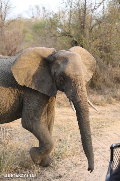 Elephant [south_africa_kruger_0777]