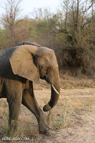 Elephant [south_africa_kruger_0778]