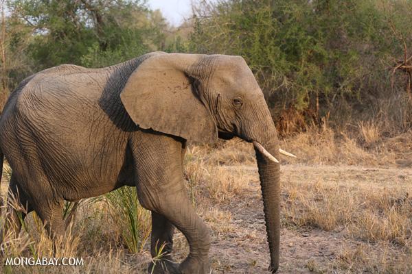 Elephant [south_africa_kruger_0779]