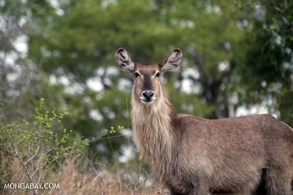 Greater kudu (Tragelaphus strepsiceros) [south_africa_kruger_0807]