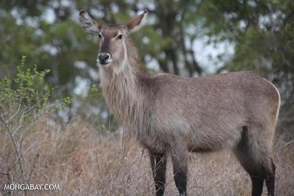 Greater kudu (Tragelaphus strepsiceros) [south_africa_kruger_0811]