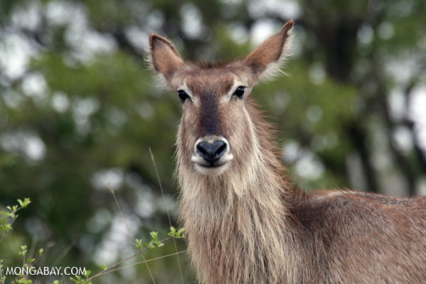 Greater kudu (Tragelaphus strepsiceros) [south_africa_kruger_0813]