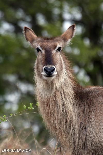 Greater kudu (Tragelaphus strepsiceros) [south_africa_kruger_0819]
