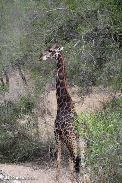 Giraffa camelopardalis giraffa [south_africa_kruger_0821]