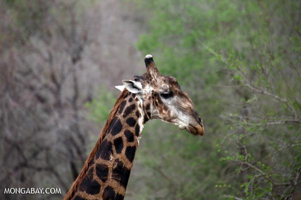 Giraffa camelopardalis giraffa [south_africa_kruger_0828]