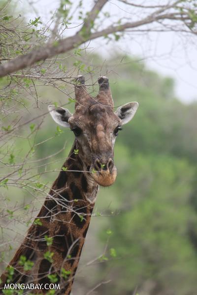 Giraffa camelopardalis giraffa [south_africa_kruger_0834]