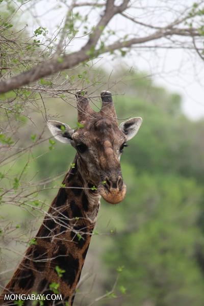 Giraffa camelopardalis giraffa [south_africa_kruger_0835]