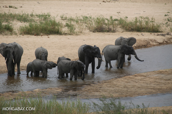 The researchers point out that keeping elephants fenced in a reserve keeps them from key areas with foraging and water resources that may be important for survival during extreme climatic events. Photo by: Rhett Butler.